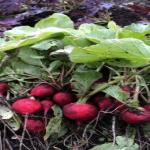 大きなラディッシュの栽培!対策は?コツは細い茎を間引きする事!?