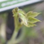 ミョウガの苗の栽培方法とは?発芽の時期について!