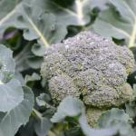 ブロッコリーの栽培!夏から冬にかけて必要なことは?