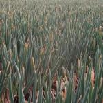 長ネギの種まき時期とは?収穫とその方法は?