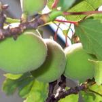 梅の品種の数は?香りの成分や期待できる効果は?