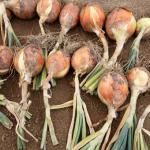 玉ねぎの栽培!収穫後の乾燥方法は?