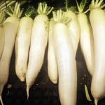 冬が旬の大根!品種と栄養価は?