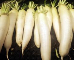 大根 冬 栄養 品種
