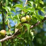 梅の木の育て方について!肥料を与える時期や量はどのくらい?