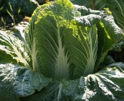 白菜 過程 成長