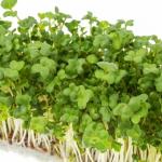 ブロッコリーの発芽に適した温度や光とは?発芽までの日数は?