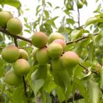 梅の生産量!なぜ和歌山での生産量が高いのか?