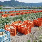 玉ねぎの日本国内での自給率って?産地は?