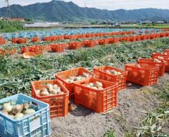 玉ねぎ 自給率 日本