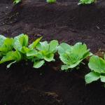 白菜の肥料のやり方!時期と量は?