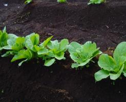 白菜 肥料 やり方 時期 量