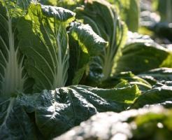 白菜 収穫 やり方