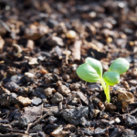 大根の発芽に光は必要?雨で水やりが省ける?