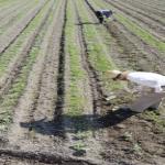 ベビーリーフの栽培!農家さんの畑ではどの時期に栽培を行っている?