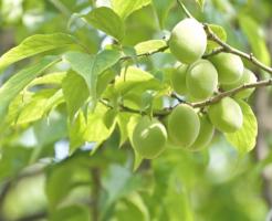 梅 カイガラムシ 予防 防除 農薬