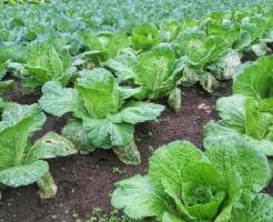 白菜 肥料 窒素