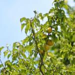 梅の黒星病とは?実は食べられる?