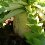 家庭菜園での大根の育て方!向いている品種や土作りは?