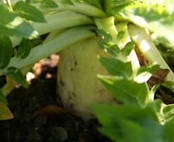 大根 育て方 品種 土作り 家庭菜園