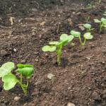 大根の種まき時期はいつまで?種の蒔き方と間引き方法は?