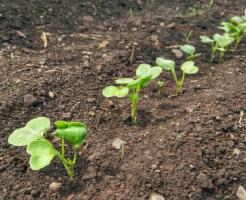 大根 種まき 時期 いつまで 蒔き方 間引き
