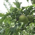 梅への農薬!散布時期や害虫の除去について!