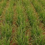 ニラの栽培!種まきの時期や水やり等の育て方のコツは?