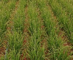 ニラ 栽培 種 時期 水 育て方