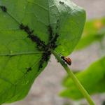 モロヘイヤの葉っぱに虫が!卵を産む?