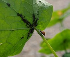 モロヘイヤ 葉 虫 卵