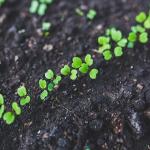 好光性種子のモロヘイヤの種!発芽日数はどのくらい?