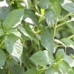 モロヘイヤの栽培!摘心した葉や茎は食べる!?
